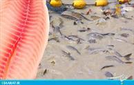 ماهی- سایت عبارت