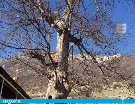 درخت افرای کهنسال سوادکوه