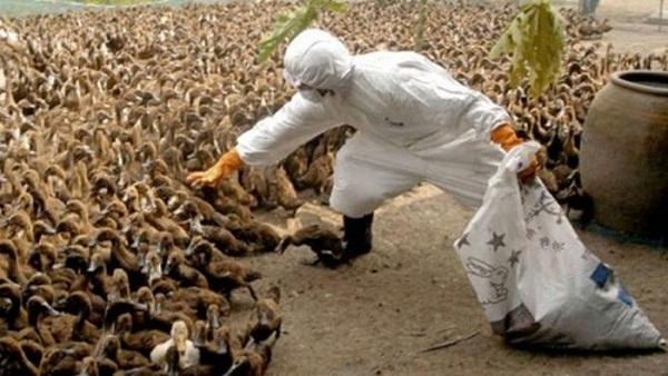 آنفولانزا پرندگان+عبارت