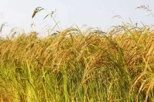 برنج + عبارت