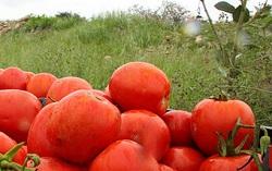 گوجه + عبارت