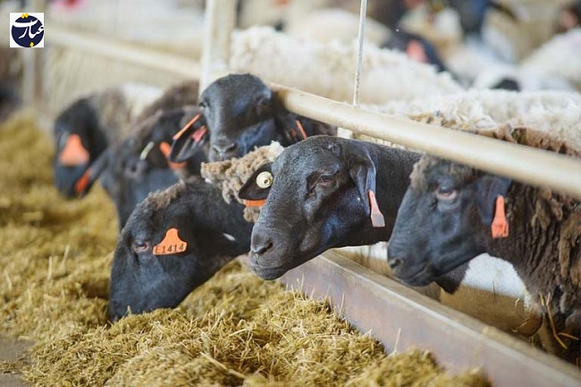 گوسفند+دامداری+عبارت