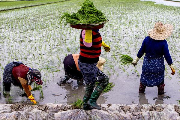 کشاورزی مازندران+عبارت