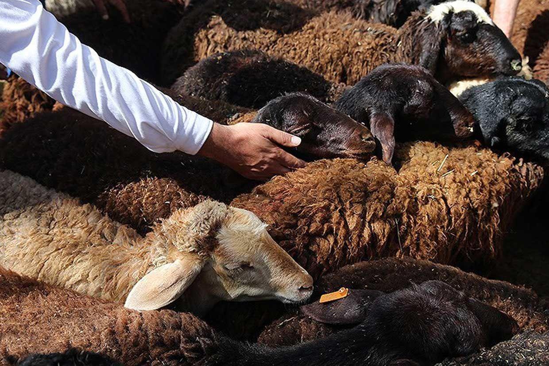 گوسفند + دام + دامداری + عبارت