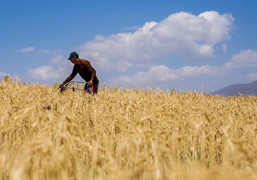 مزارع گندم+عبارت