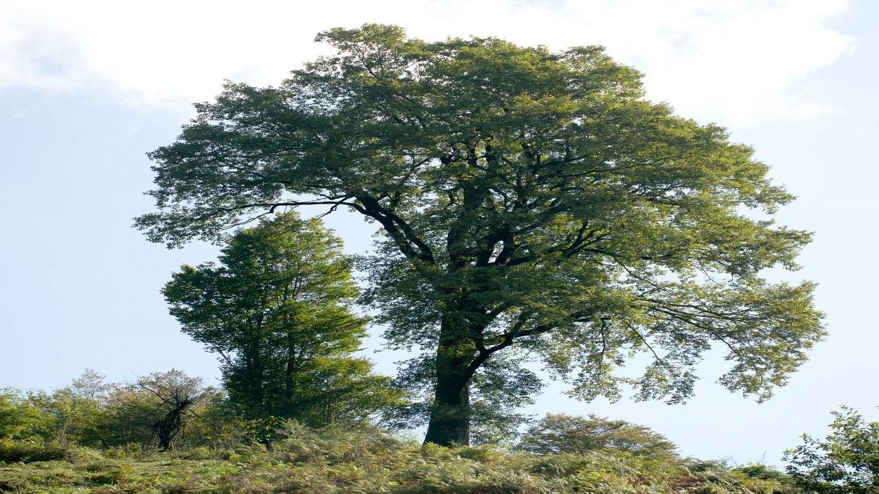 درخت بلوط+عبارت