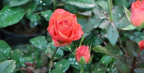 گل گیاه + عبارت