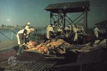 صید ماهی خاویار در دریای خزر ۷۰ سال پیش