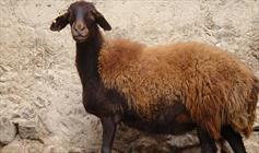 گوسفند+عبارت