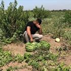 مزرعه هندوانه+عبارت