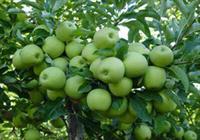 سیب+عبارت