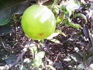 میوه+عبارت