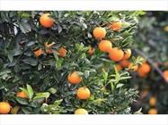 پرتقال مرکبات + عبارت