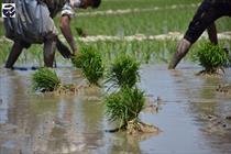 شالیزار+عبارت+کشاورزی+برنج+شالی