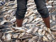 مرگ ماهی ها + عبارت