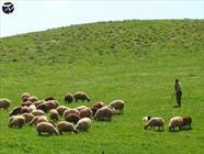 چوپان + عشایر + گوسفند + عبارت