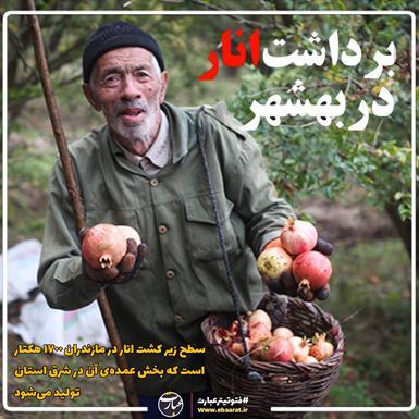 برداشت انار بهشهر + سایت عبارت