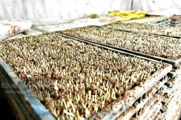 نشای برنج در شالیزار های مازندران + عبارت
